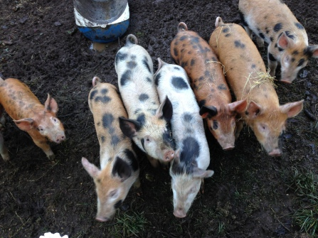 The piggies on arrival.