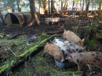The big pigs get moved onto a new forest patch