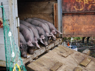 The little pigs getting let out of the trailer for the first time.