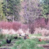 New chicken run