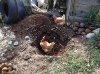 Explorer chickens helping dig a hole