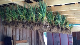 Garlic curing in the shed