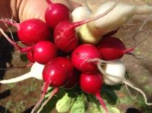 Canada Day radishes