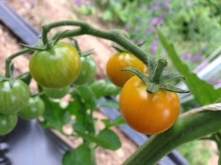 Sungolds ripening