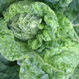 Savoy cabbage heading up