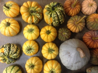 Winter squash harvest