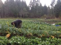 Harvesting caulis