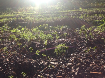Cover crop enjoying a sunny afternoon.