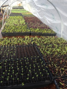 Seedlings under extra plastic with heat